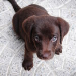 puppy-dog-brown